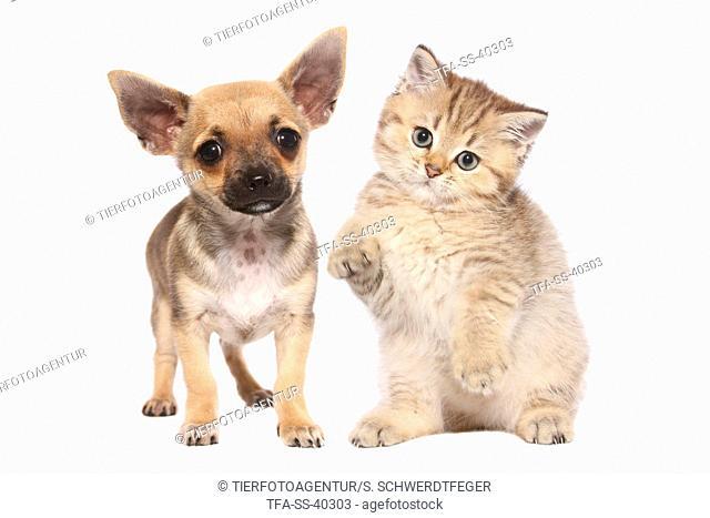 Chihuahua Puppy and British Shorthair Kitten