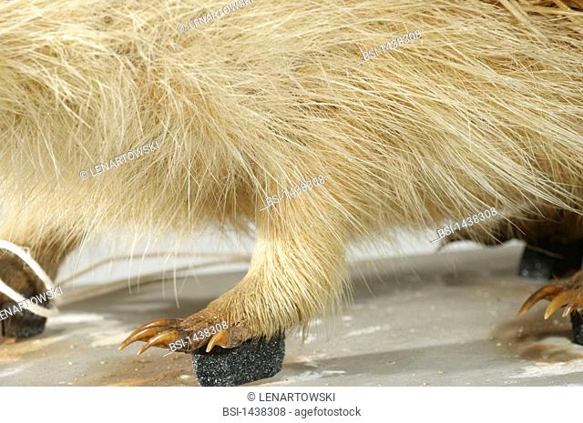 HEDGEHOG LEG