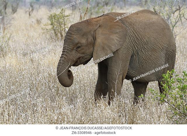 African bush elephant (Loxodonta africana), elephant calf feeding on roots, Kruger National Park, South Africa, Africa