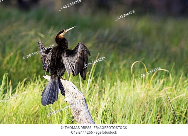 African Darter (Anhinga rufa) - Basking on a log in order to dry the feathers. Okavango Delta, Moremi Game Reserve, Botswana