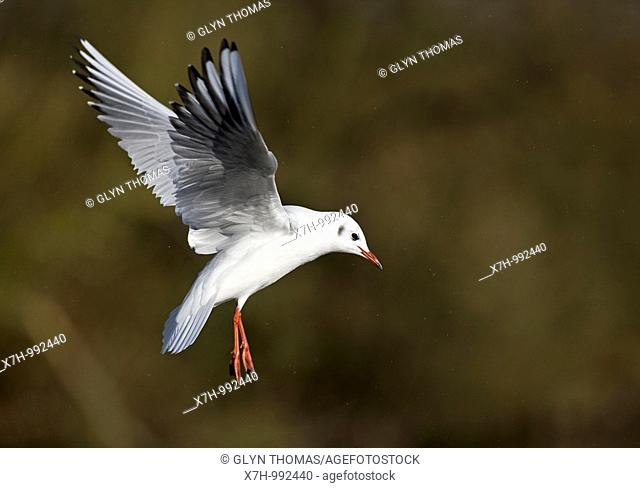 Black-headed Gull with winter plumage