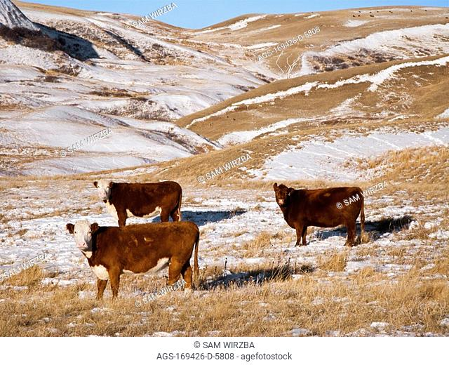 Livestock - Red Angus and Hereford beef cows on a snow covered Winter native prairie pasture / Alberta, Canada