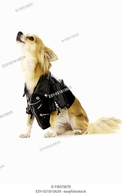 Long Haired, Sand Coloured Chihuahua Dog, Wearing a Black Leather Jacket Howling Isolated on a White background