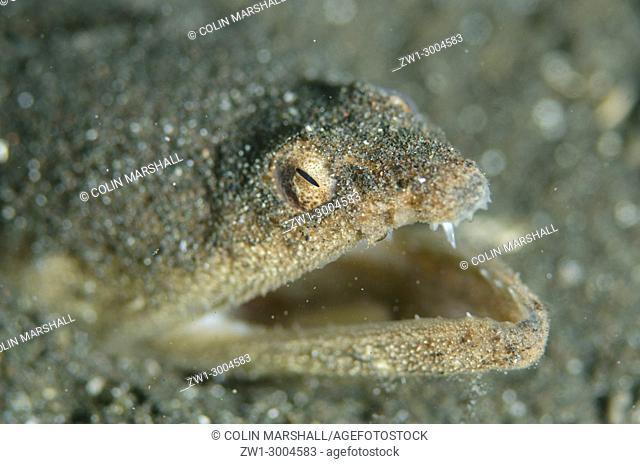 Stargazer Snake Eel (Brachysomophis cirrocheilos), . œyawning. . - defense warning, Joleha dive site, Lembeh Straits, Sulawesi, Indonesia