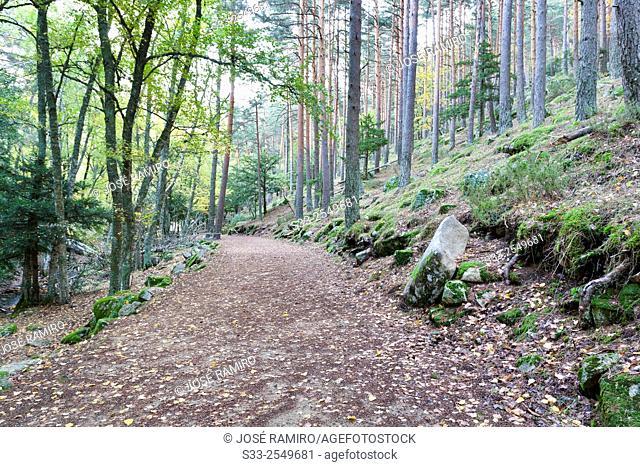 Road in the Canencia Birch. Sierra de la Morcuera. Madrid. Spain. Europe