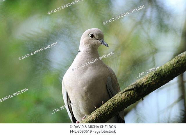 Dove, Streptopelia decaocto, low angle view