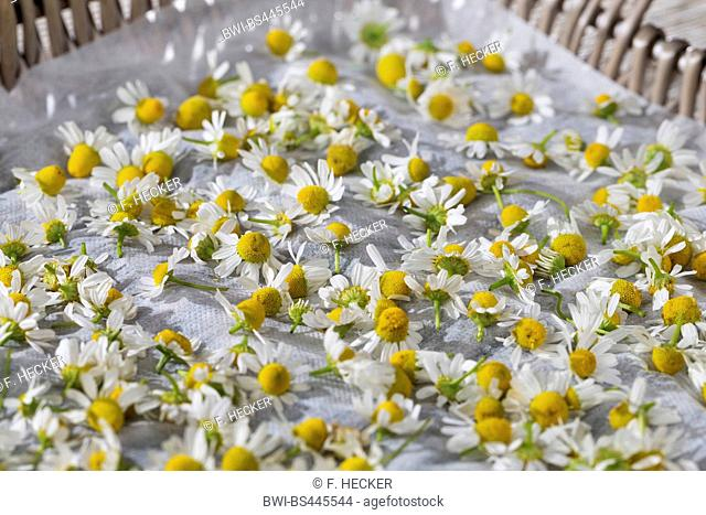 scented mayweed, german chamomile, german mayweed (Matricaria chamomilla, Matricaria recutita), flowers are dried, Germany