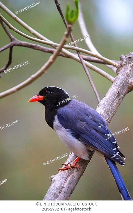 Red Billed Blue Magpie, Urocissa erythroryncha