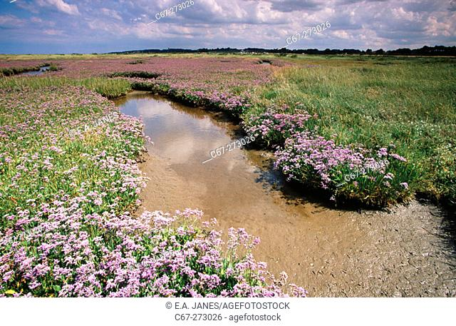Sea Lavender (Limonium vulgare). Salt marshes near Morston. North Norfolk, UK