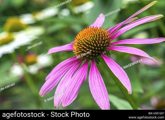 Purple Cone flower (Echinacea purpurea), inflorescence, Baden-Württemberg, Germany, Europe