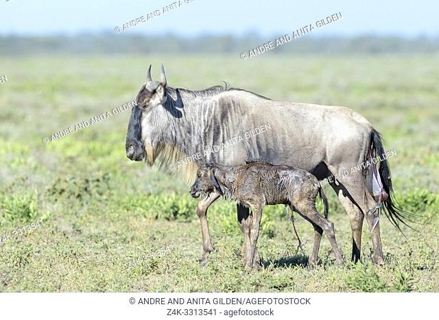 Blue Wildebeest (Connochaetes taurinus) mother with a new born calf already walking on savanna, Ngorongoro conservation area, Tanzania