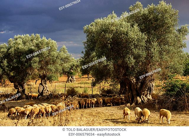 Flock of sheep in the olive grove. Biniatzar. Bunyola. Tramuntana. Mallorca. Illes Balears. Spain