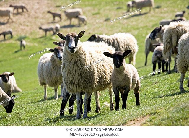 sheep - Masham ewe with lambs on fresh pasture. . Cotswolds - UK