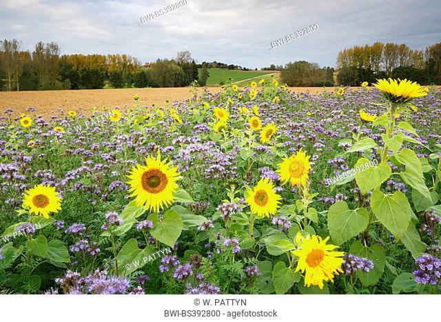 common sunflower (Helianthus annuus), sunflower field with Phacelia, Belgium