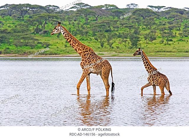 Masai Giraffe with young Lake Ndutu Serengeti national park Tanzania Giraffa camelopardalis tippelskirchi side
