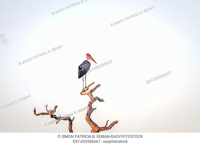 Marabou stork in a dead tree in the Kruger National Park, South Africa