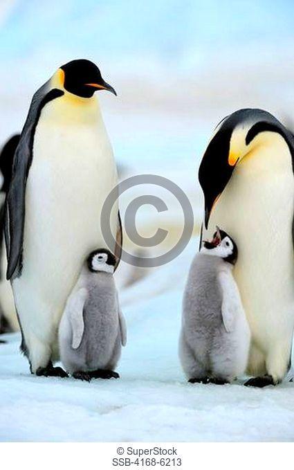 ANTARCTICA, WEDDELL SEA, SNOW HILL ISLAND, EMPEROR PENGUINS Aptenodytes forsteri, COLONY, ADULTS WITH CHICKS