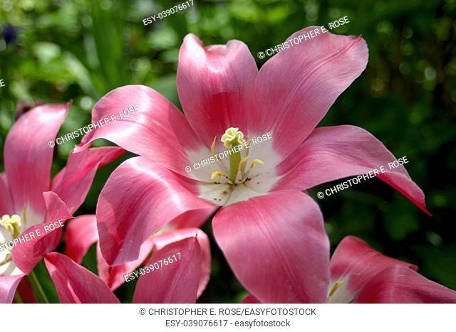 Tulip, pink, blown