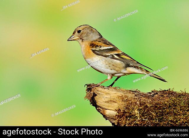 Brambling (Fringilla montifringilla), female, sitting on dead wood, Wilden, Siegerland, North Rhine-Westphalia, Germany, Europe