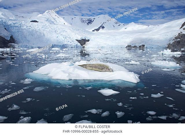 Crabeater Seal Lobodon carcinophagus adult, resting on ice floe, with snow covered mountains in background, La Maire Channel, Antarctic Peninsula, Antarctica