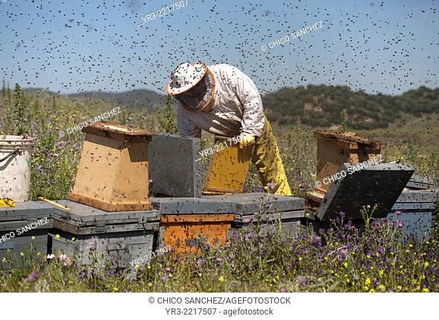 A beekeeper works in a swarm of honey bees buzzing an flying in Los Alcornocales Natural Park, Cadiz province, Andalusia, Spain