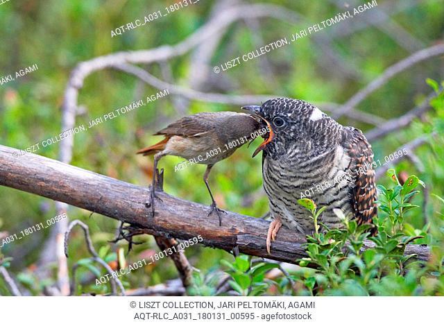 Kaki 0038 Cuckoo Kiiminki Finland August 2008, Cuculus canorus, Common Cuckoo