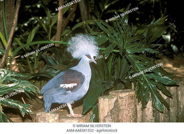 Victoria Crowned Pigeon (Goura v. victoria) Wild Animal Park/CA