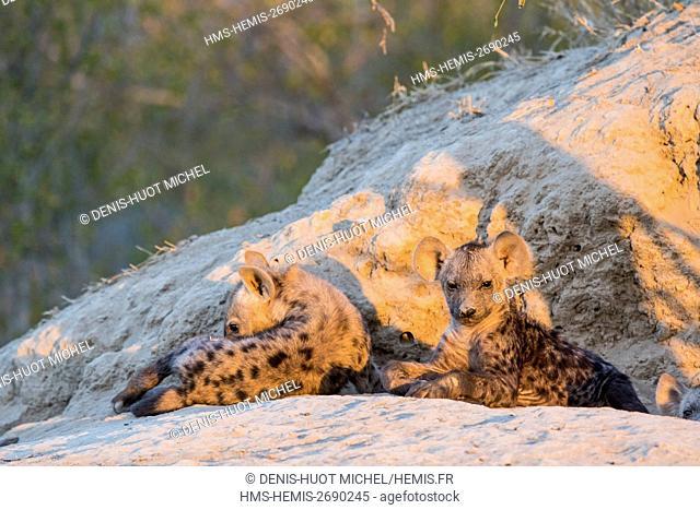 South Africa, Sabi Sands private game reserve, spotted hyena (Crocuta crocuta), pups at the den