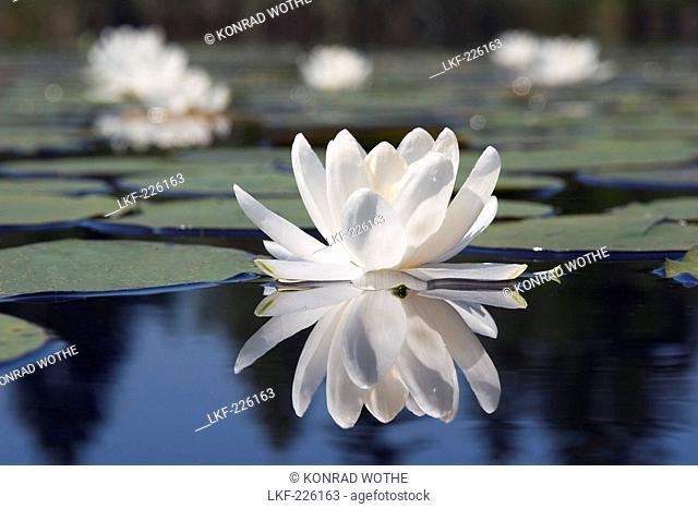 Waterlillies in pond, Nymphaea alba, Upper Bavaria, Germany