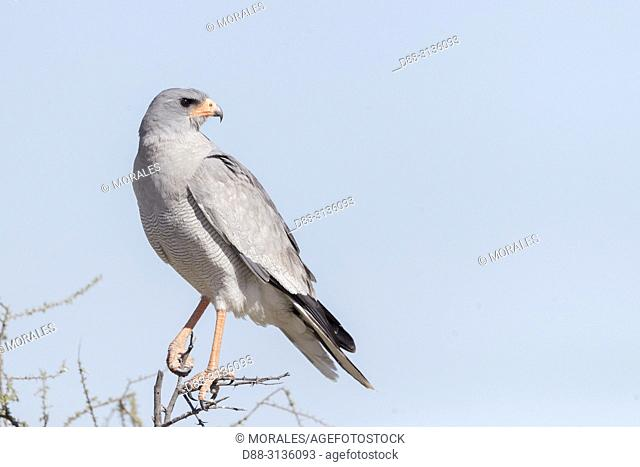 Africa, Southern Africa, Bostwana, Central Kalahari Game Reserve, Pale chanting goshawk (Melierax canorus), adult perched on a tree