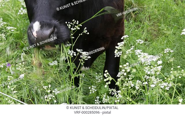 Close up of a black cow is munching flowers on a meadow. Kramfors, Västernorrlands Län, Sweden