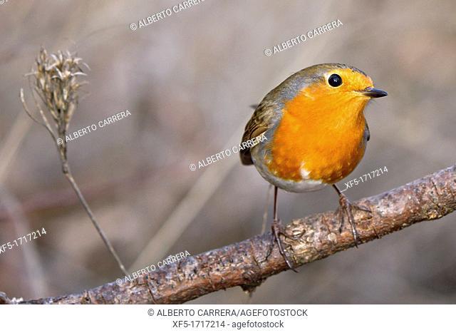 European Robin, Erithacus rubecula, Muscicapidae, Passeriforme, Spain, Europe