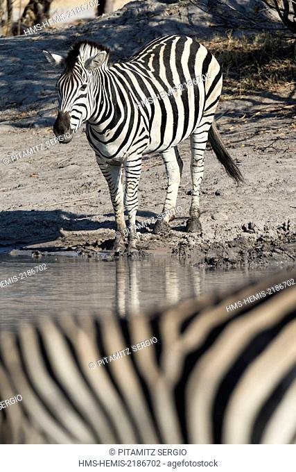 Botswana, Okavango Delta, listed as World Heritage by UNESCO, Khwai Concession, Burchell's zebras (Equus burchelli)