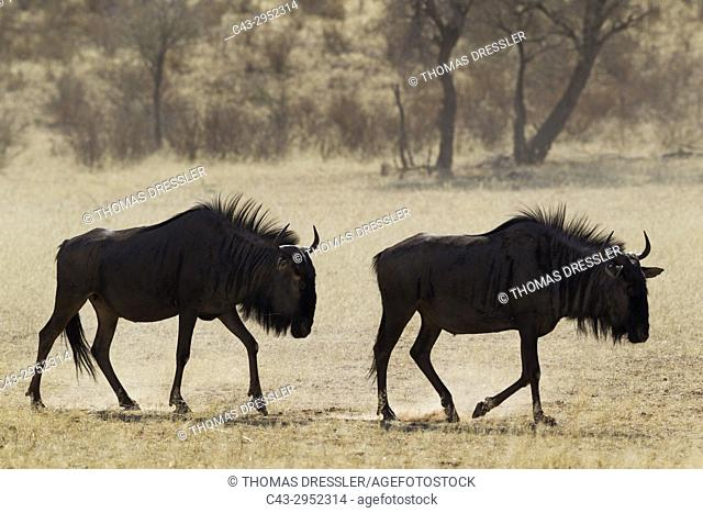 Blue Wildebeest (Connochaetes taurinus). Roaming in the dry riverbed of the Auob river. Kalahari Desert, Kgalagadi Transfrontier Park, South Africa