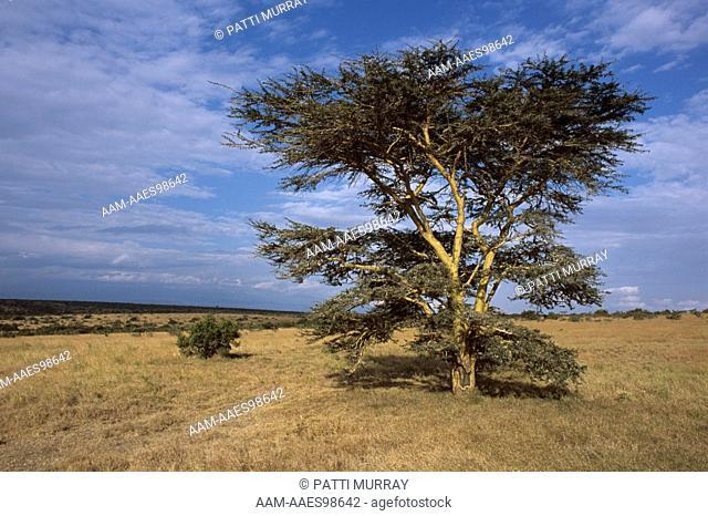 Gum Arabic Acacia Senegal Tree Stock Photos And Images Age Fotostock