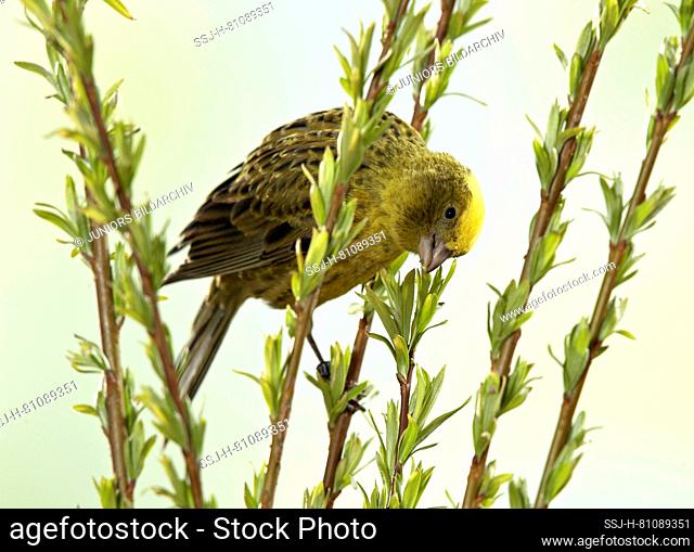 Domestic Canary nibbling on willow leaves and twigs. Germany