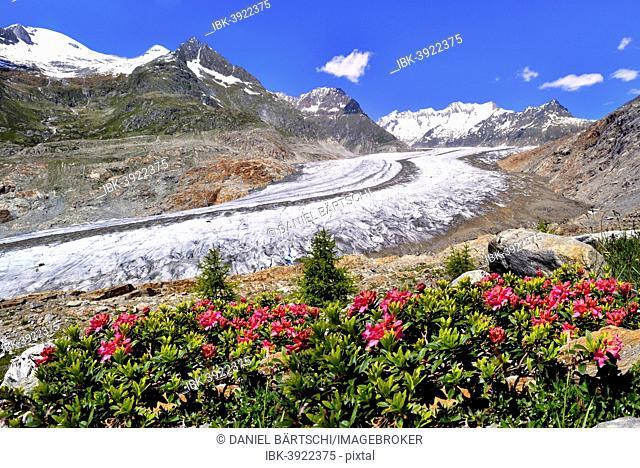 Great Aletsch Glacier, UNESCO World Heritage Site, alpenroses at the front, Riederalp, Bettmeralp, Canton of Valais, Switzerland
