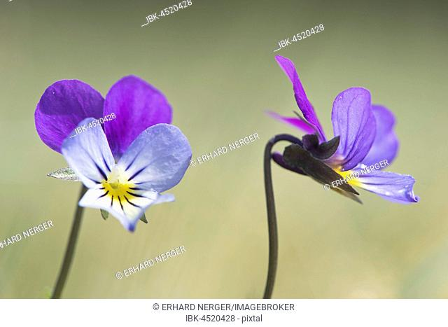 Wild Heartseases (Viola tricolor), Emsland, Lower Saxony, Germany