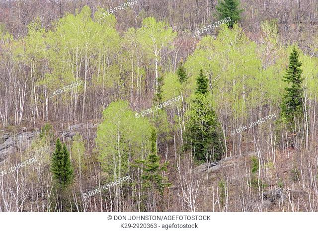 Emerging foliage in early spring aspens in a mixed forest, Greater Sudbury, Ontario, Canada