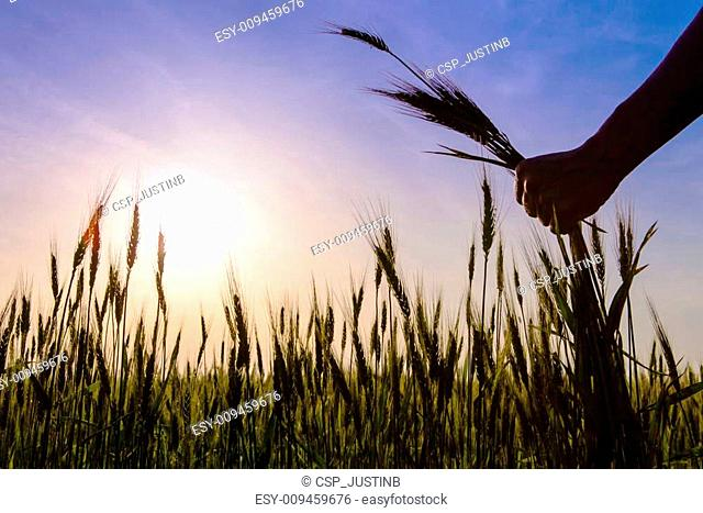 The hands hold the ears of corn field