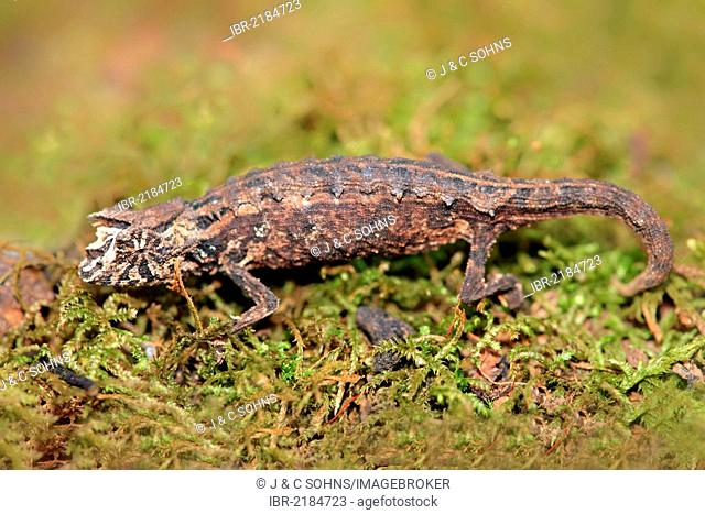Decary's Leaf Chameleon (Brookesia decaryi), female, foraging, Madagascar, Africa