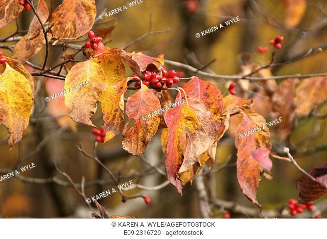 autumn leaves of bush with multiple colors plus red berries, Monroe County, IN