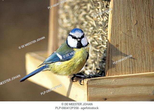 Blue tit Parus caeruleus feeding on sunflower seeds, Belgium