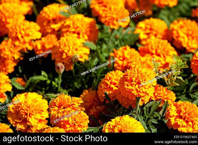 Orangefarbene Tagetes