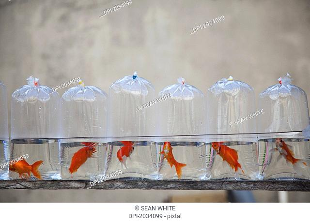 Plastic Bags Containing Pet Goldfish For Sale, Iloilo City Panay Philippines