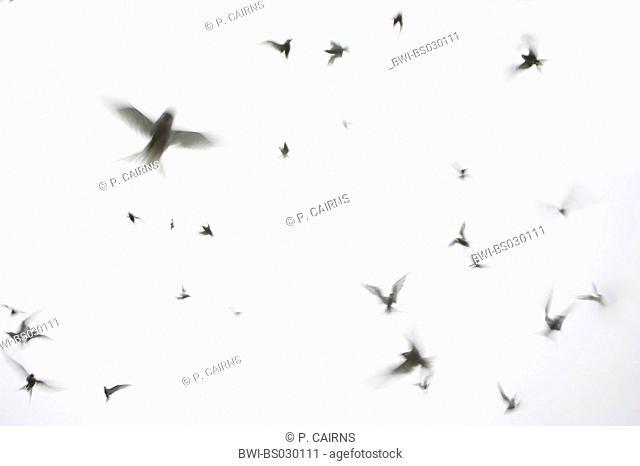 arctic tern (Sterna paradisaea), flocking birds, United Kingdom, Scotland, Isle Of May