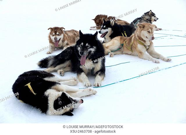 Resting Greenlandic husky dog team staked to the ice near the floe edge in midnight sun