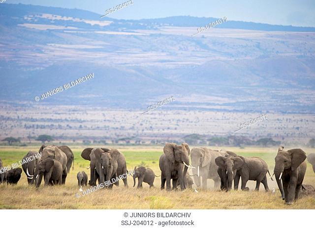 African Elephant (Loxodonta africana). Herd at Amboseli National Park, Kenya