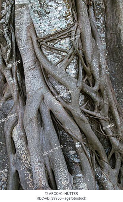 Stringler Fig Everglades national park Florida USA Ficus aurea