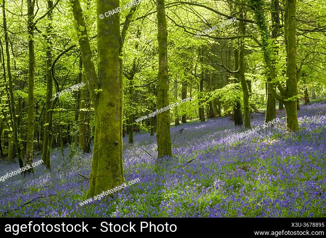Bluebells in spring in a beech woodland in the Mendip Hills at Fuller's Hay near Blagdon, North Somerset, England